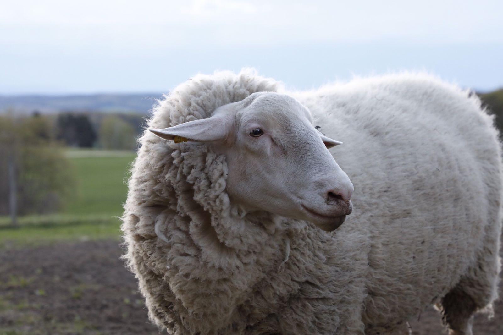 Schaf auf dem Bauernhof