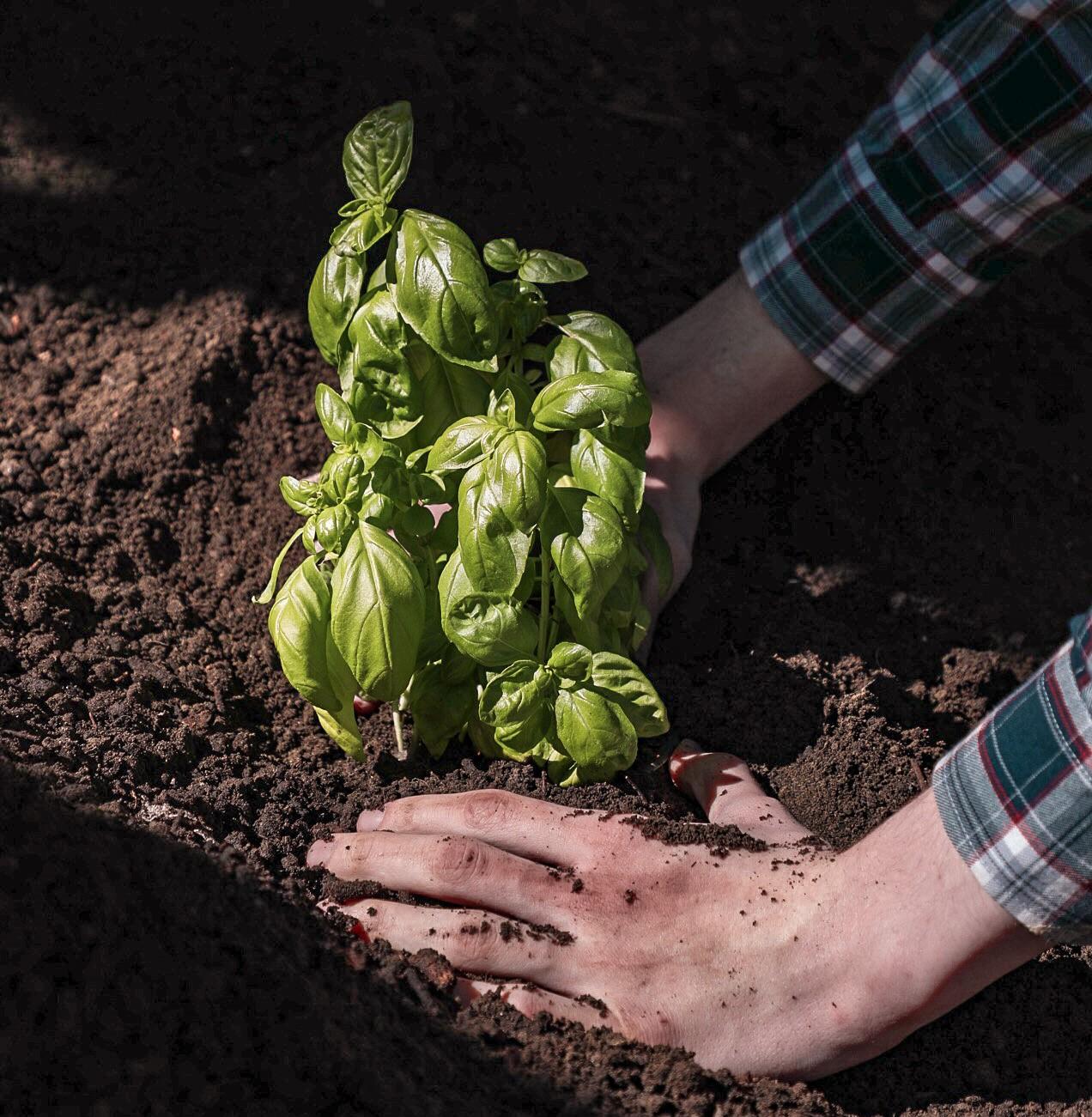 Basilikum Kompost und Erde