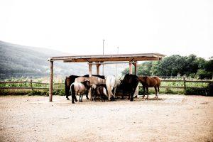 Pferdeherde im Offenstall